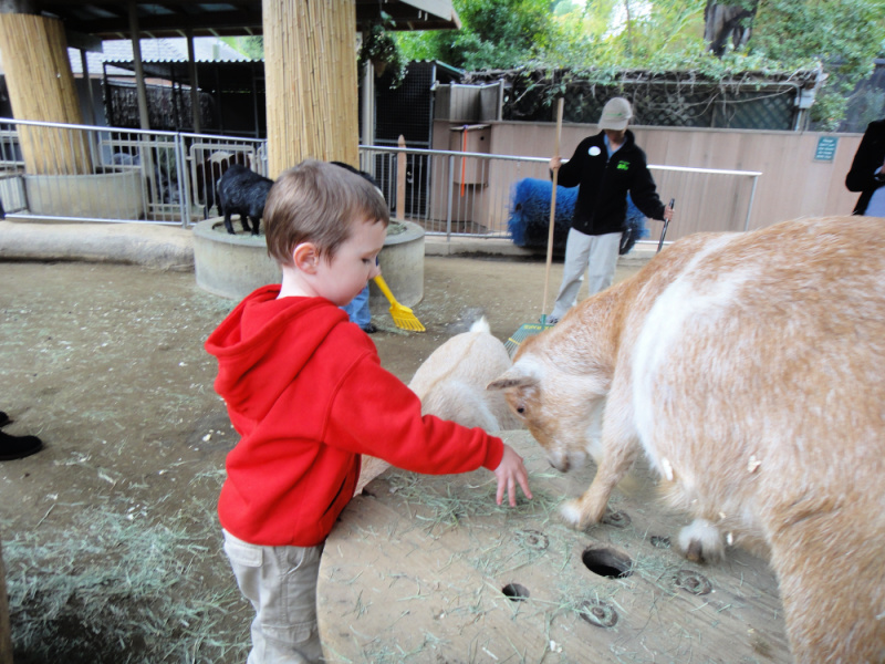 child in red sweatshirt petting a goat