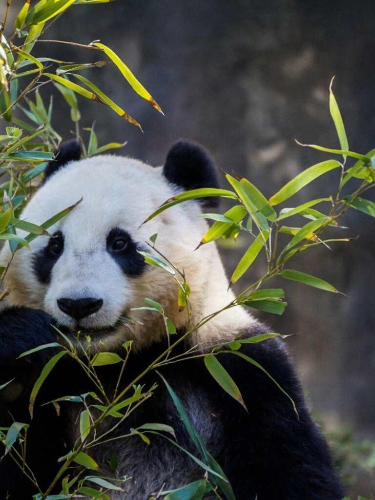 Panda bear with green leaves