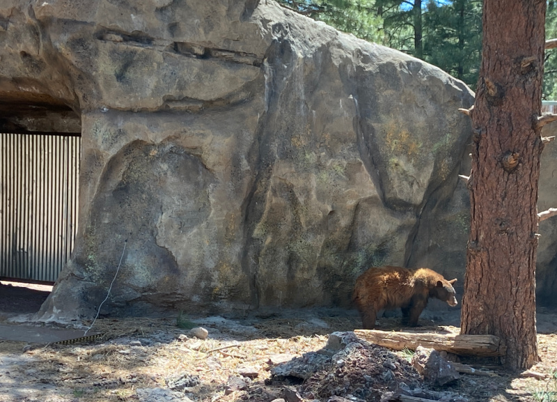 Bear in a large naturalistic enclosures at Bearizona Wildlife Park