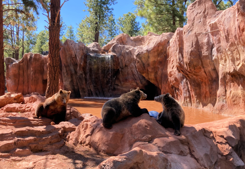 3 grizzly bear cubs