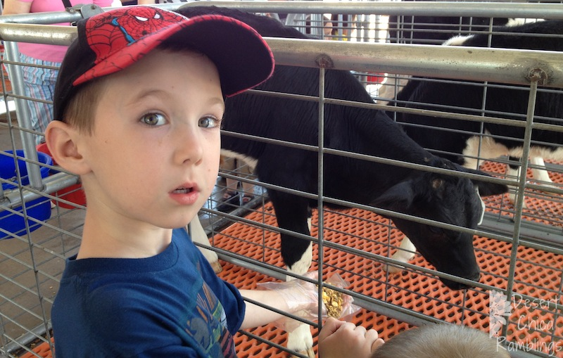 Feed Calf at Shamrock Farms