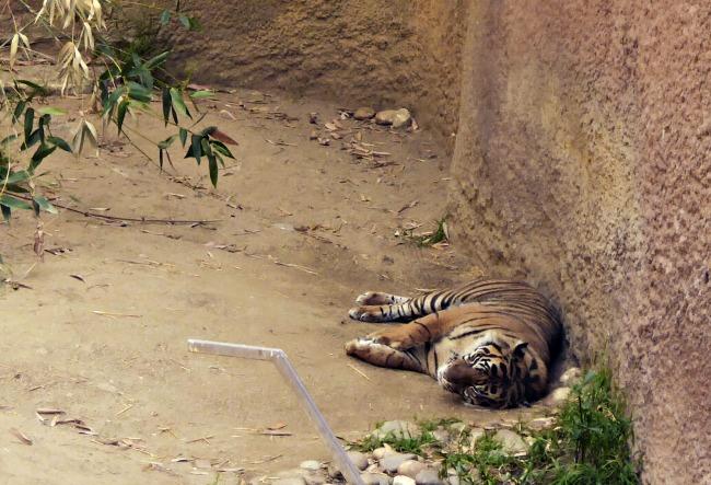 CJ LA Zoo Tiger Monkey Kingdom