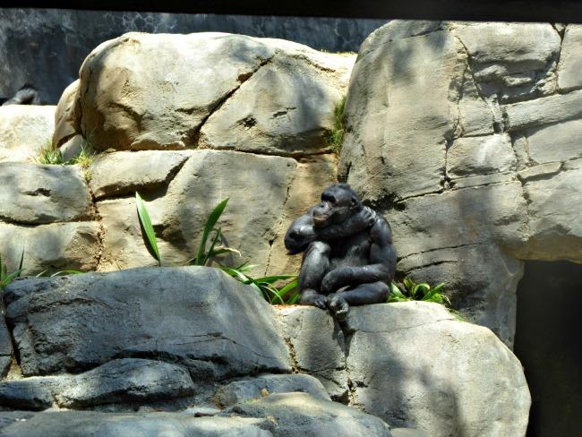 Chimpanzees at LA ZOO