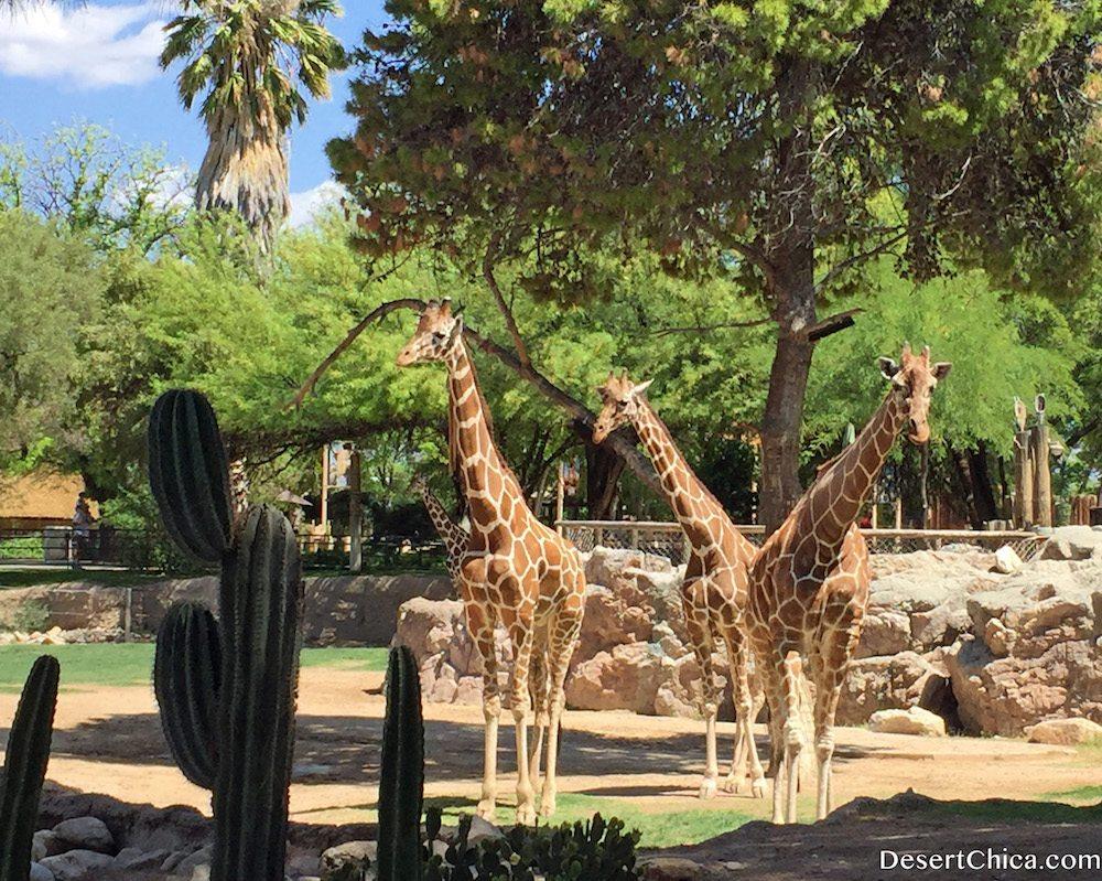 Giraffes at Reid Park Zoo