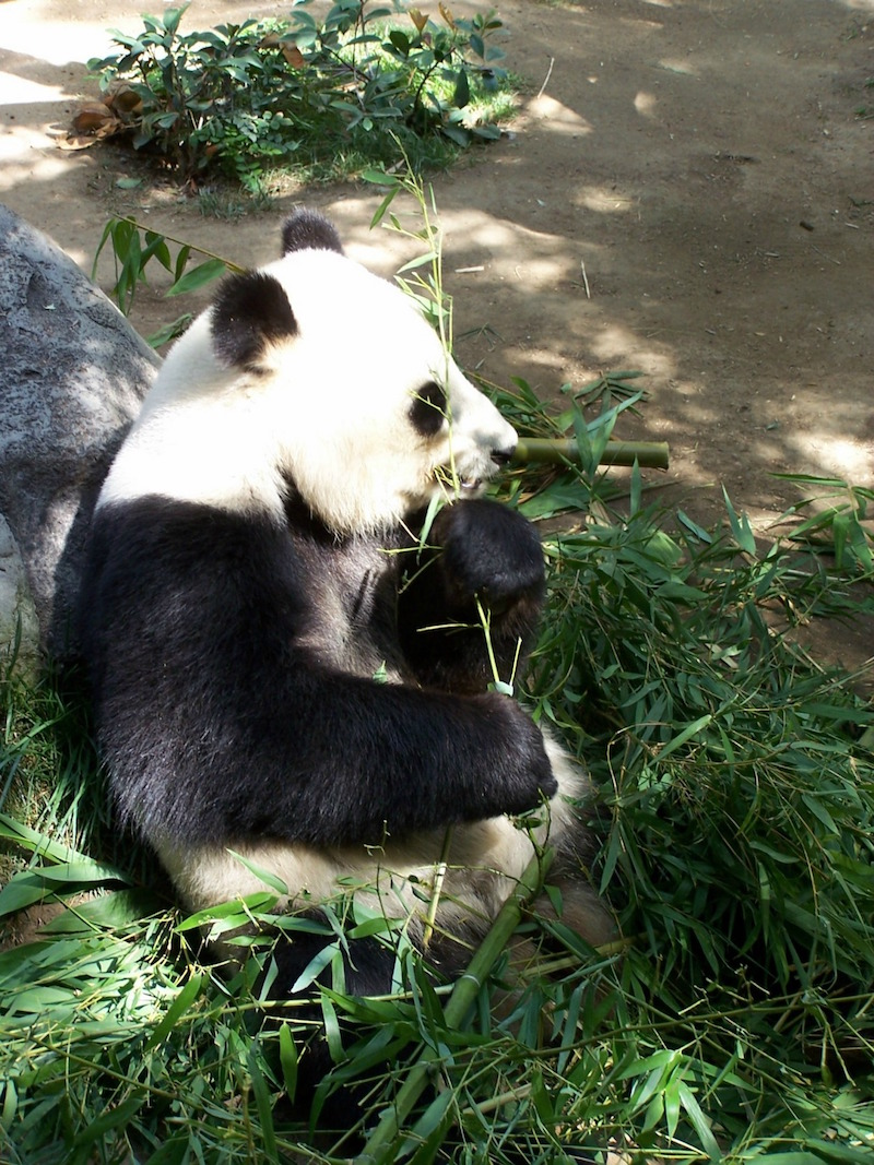 Panda's at San Diego Zoo photo from Pixabay - Things to do in southern california with kids