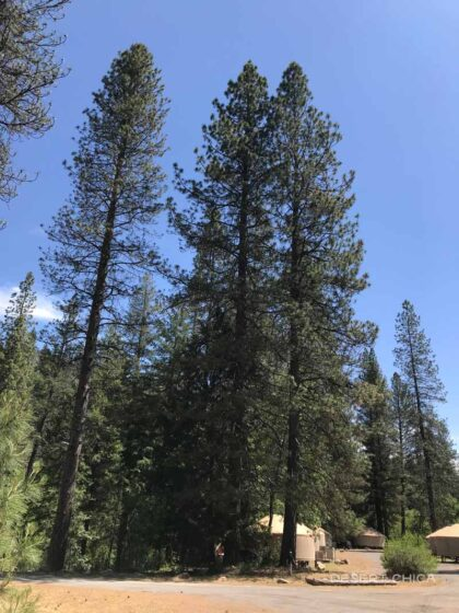 Amazingly tall trees right next to our Yurt at Yosemite Lakes RV Resort